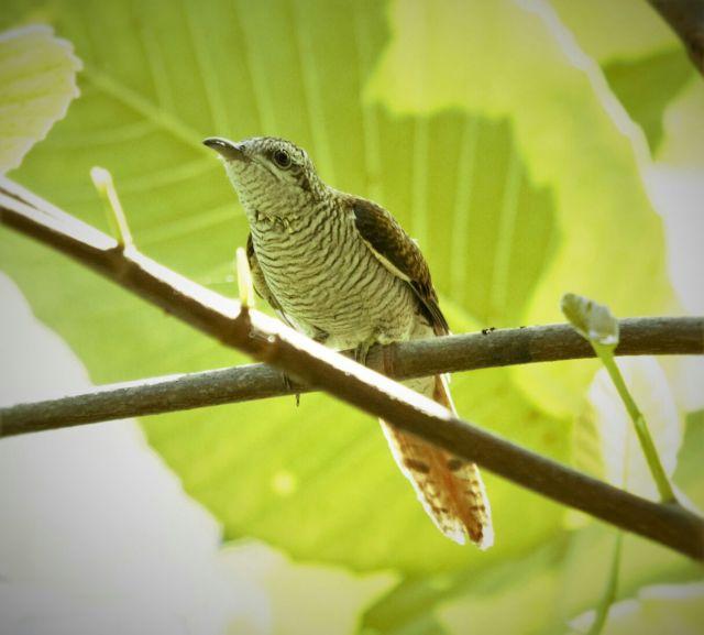 Banded cuckoo