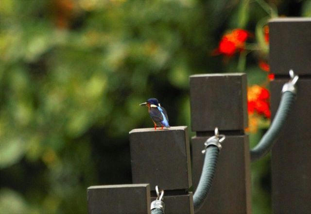 Blue-eared kingfisher 2