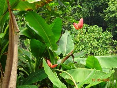 banana plant 2 18 Aug 2016