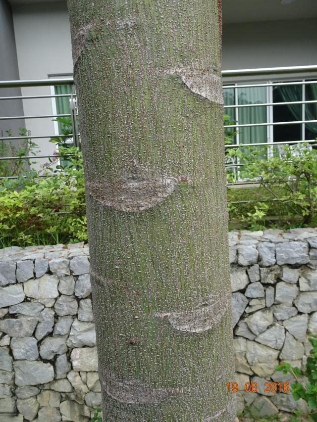 brazilian fern tree 3