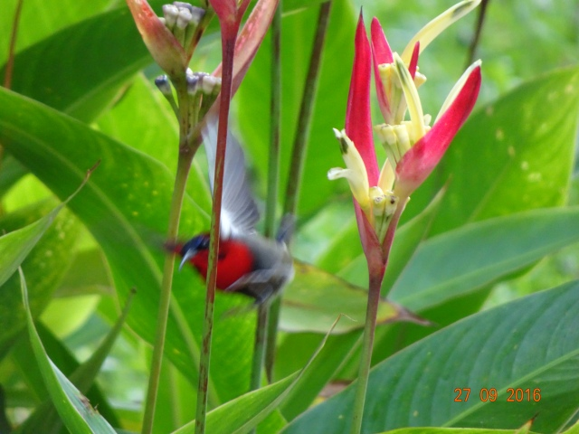 sunbird-in-flight